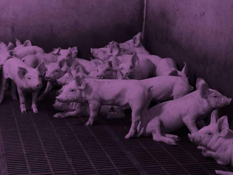 Сельскохозяйственные животные становятся угрозой для человечества