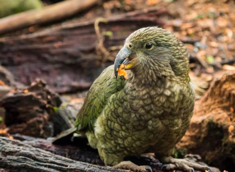 parrot cacapo