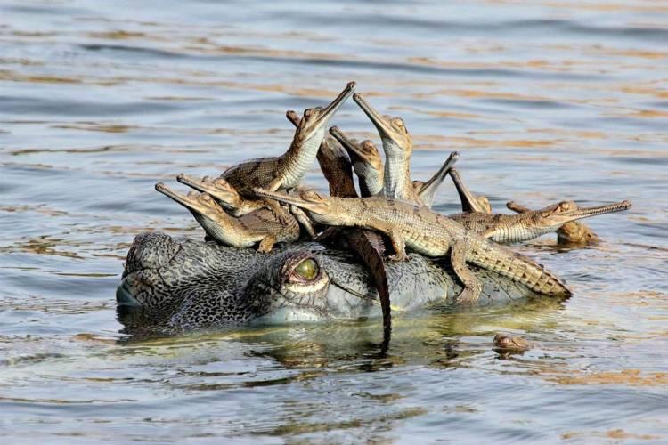 crocodyle nest