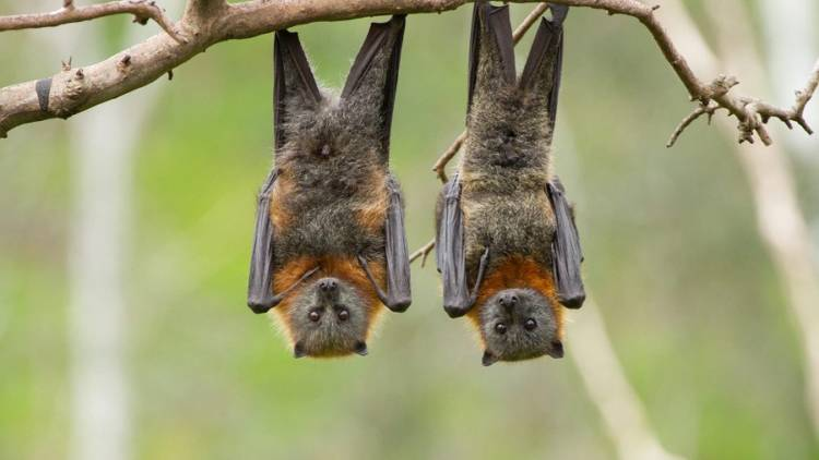 bats viruses