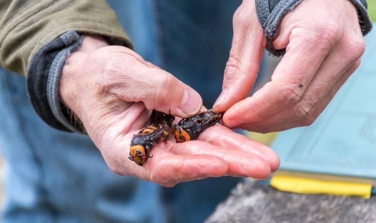hornet in USA