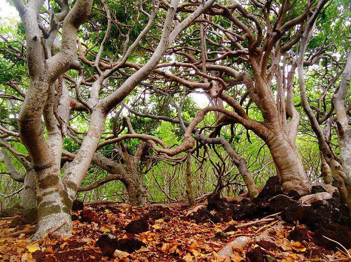 Manc tree